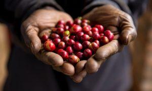 Ce gust are o cafea sustenabilă?